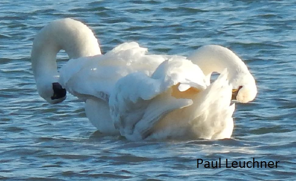 Preening Tundra Swans P Leuchner1