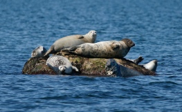 You may be able to see harbor seals resting at low tide during a seal walk, photo by Maritime Aquarium of Norwalk.