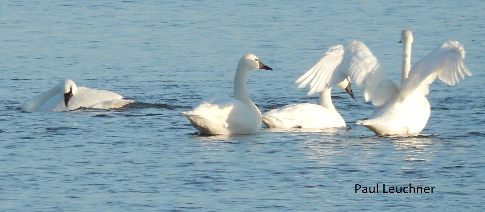Tundra Swans P Leuchner1