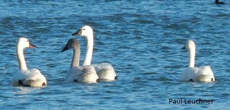 Tundra Swans_P Leuchner1