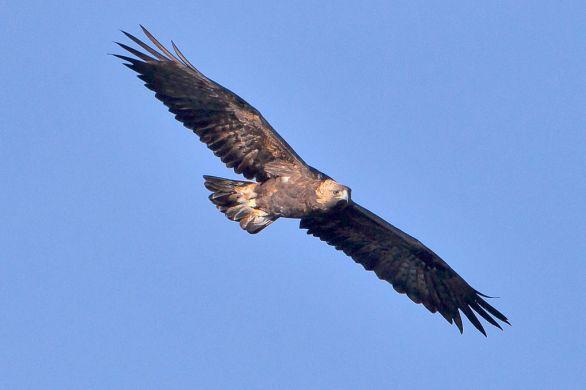 1024px-Golden_Eagle_1
