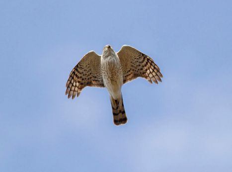 1024px-Sharp-shinned_Hawk_(Accipiter_striatus)
