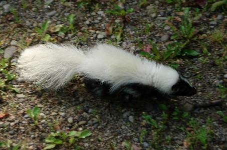 BabySkunk