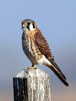 An american kestrel ( perched on a wooden post.