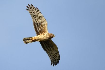 Northern_harrier_(12344138524)