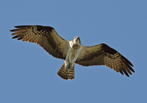 Osprey_in_flight_(11820598024)