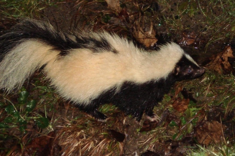 Skunk Night
