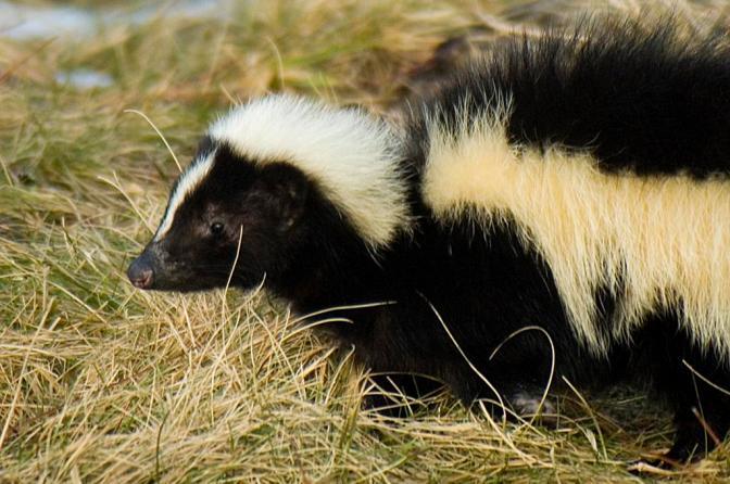 In Appreciation of Skunks