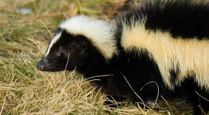 In Appreciation of Skunks