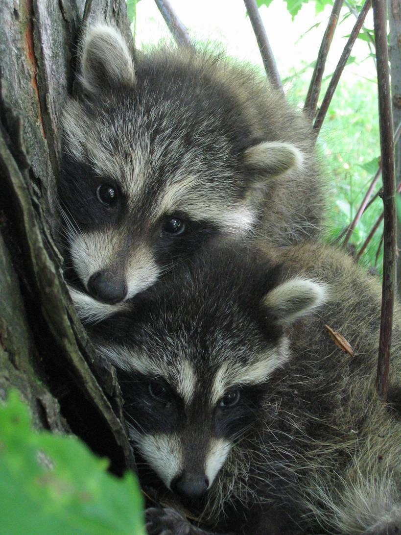 baby raccoon FNSP
