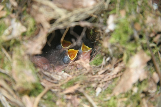BarnSwallow Chicks-Photo by Lilly Schelling