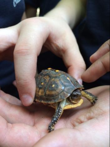 Box Turtle_E Becker