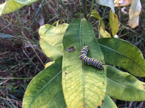 MonarchCaterpillar3_E Becker