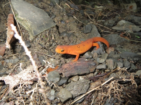 Red Eft at Thacher -Photo by Lilly Schelling