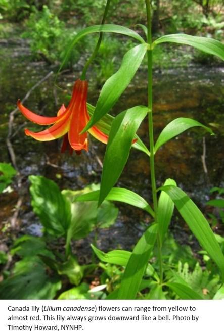 Canada lily Timothy Howard NYNHP.1jpg