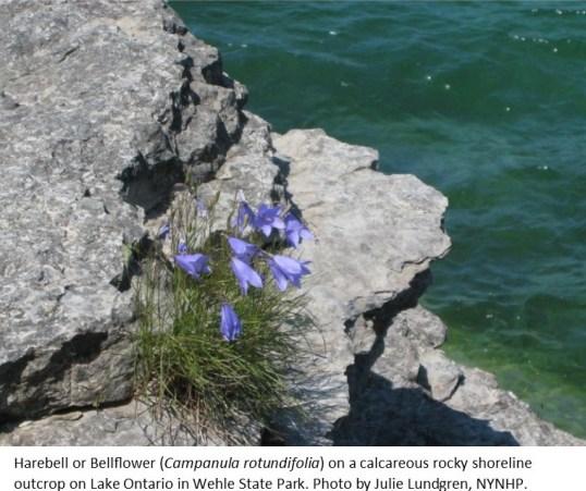 Harebell-bellflower J Lundgren NYNHP1