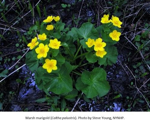 Marsh marigold Steve Young NYNHP1