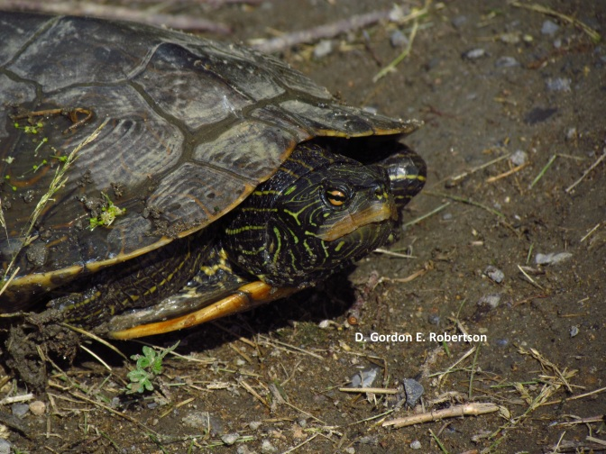 "The Hudson River's ""Tough Turtles"""