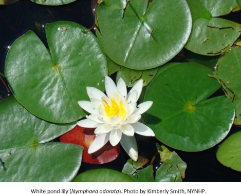 White pond lily Kimberly Smith NYNHP1