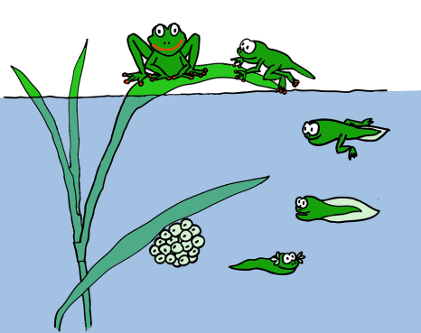 FrogLifeCycle