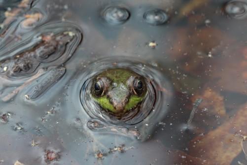 Green_frog_Rana_clamitans_MatthewScheslingerNYNHP