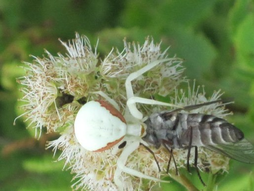 NHP_Spider