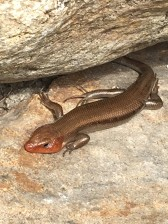 Adult five-lined skink at the Trailside Museums and Zoo, photo by State Parks.