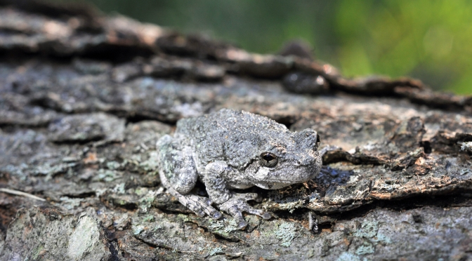 Frogs and Pollywogs in NYS Parks