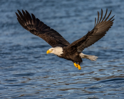 Bald_Eagle_Fly_By_Andy Morffew