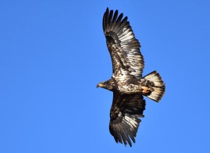 Bald_eagle_(subadult)_on_Seedskadee_National_Wildlife_Refuge_(39752849442)