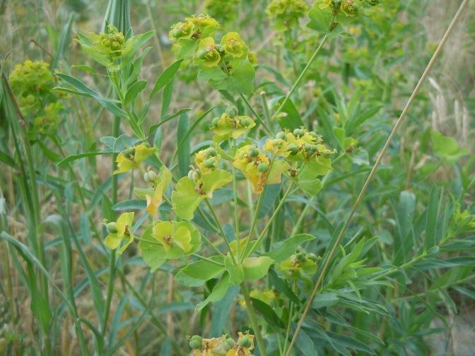 Invasive Species Spotlight – Leafy Spurge
