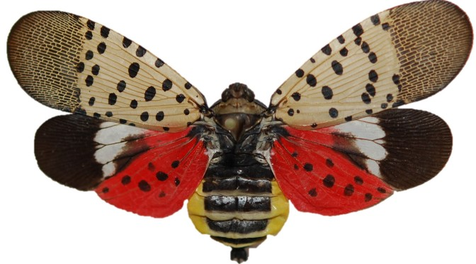 Invasive Species Spotlight – Spotted Lantern Fly
