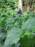 Dense stands of kudzu along the Old Croton Aqueduct State Historic Park in Yonkers were removed in 2016 by State Parks Invasive Species Strike Team, photo courtesy of Shawn Gorman, Friends of Old Croton Aqueduct State Historic Park.