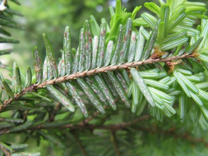 Invasive Species Spotlight – Elongate Hemlock Scale