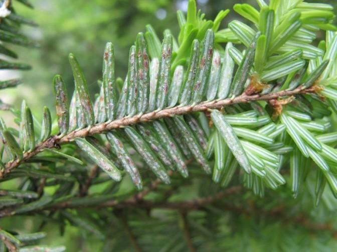Invasive Species Spotlight – Elongate Hemlock Scale