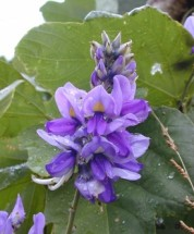 """8"""" - 10"""" fragrant flowers can be seen in mid-summer, photo by Forest & Kim Star, Bugwood.org"""