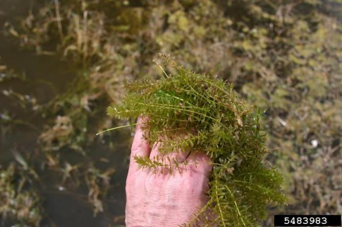 Invasive Species Spotlight – Hydrilla