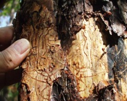 Galleries chewed by adult southern pine beetles, photo courtesy of NY Dept of Conservation.