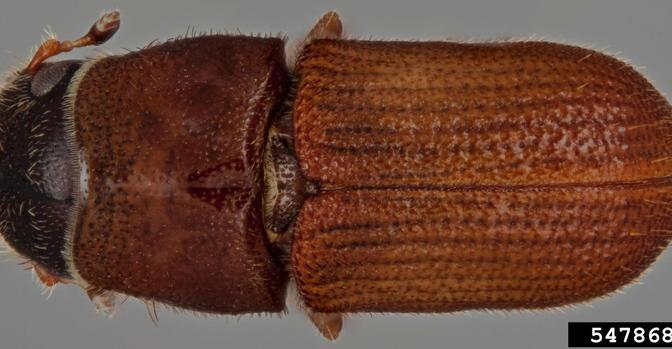 Monitoring for Southern Pine Beetle