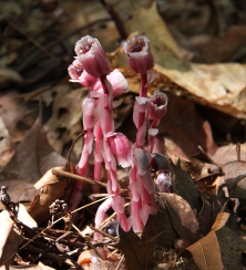 Rare pink Indian pipes, photo by Magellan, accessed from WikiCommons