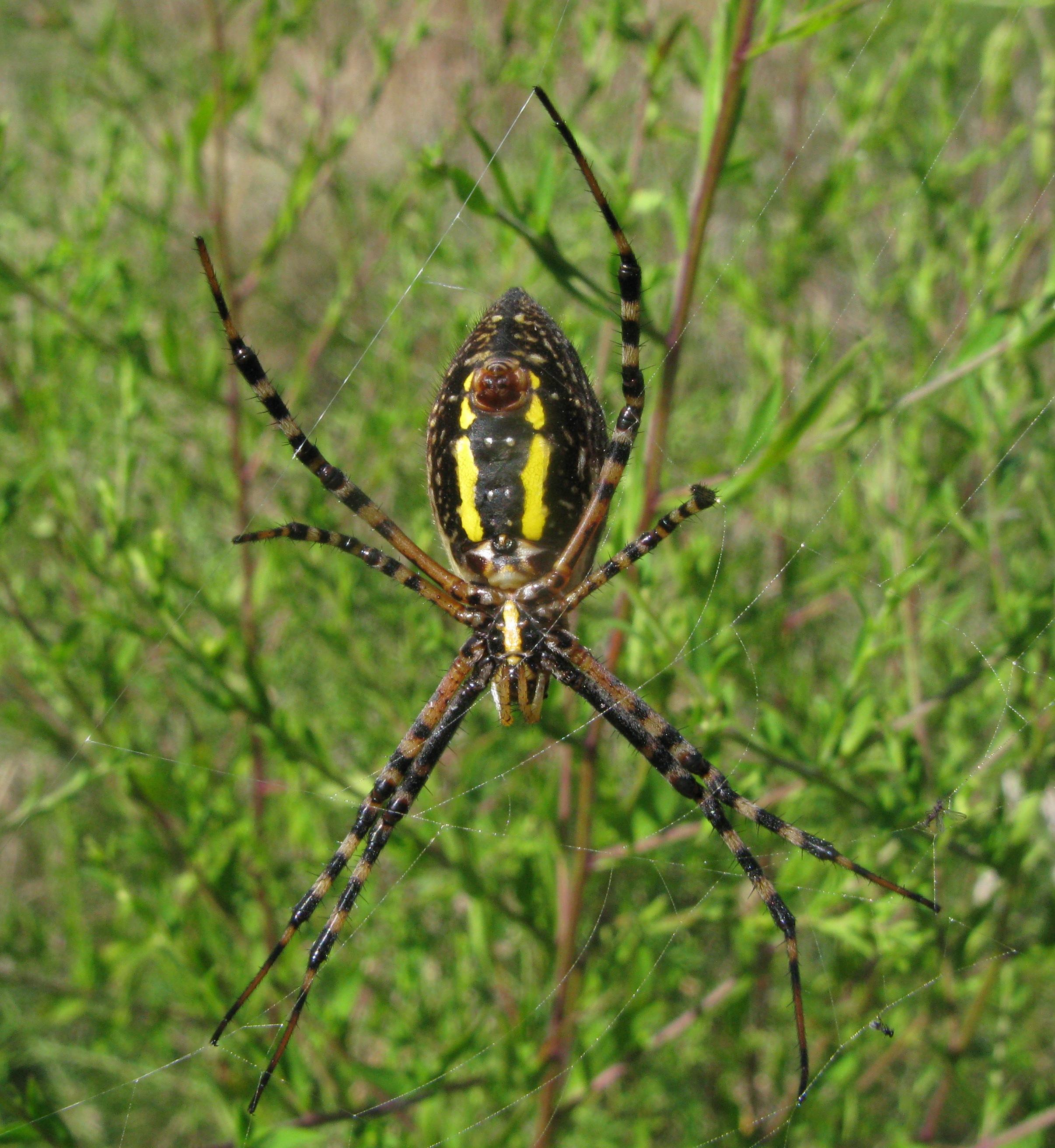 yellow garden spider DWSP
