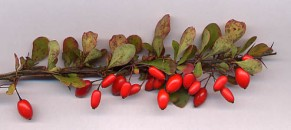 Barberry fruit, photo from Wikicommons