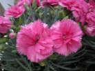 Dianthus, formerly known as cloue (clove) gillyflower, photo by Noordzee 23, accessed from Wikicommons