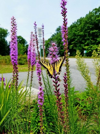 Liatris_Swallow Tail_DeBolt