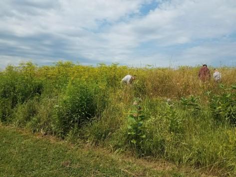 Wild Parsnip field