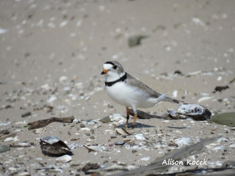 PipingPlover_A KocekName