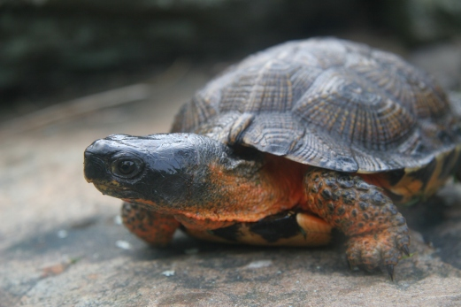 Wood Turtle 1 - Lilly Schelling