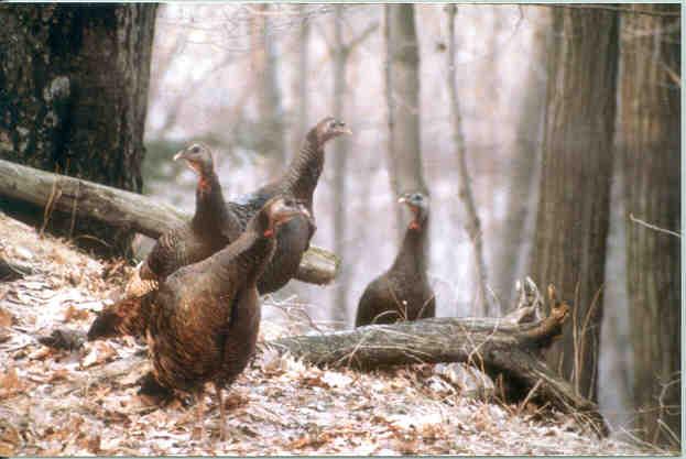 fall.hens