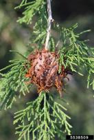 Cedar apple rust on a cedar tree, photo by Steven Katovich, USDA Forest Service, accessed from Bugwood.org.