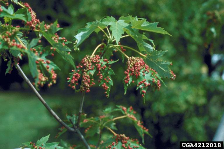 MapleBladderGallMite, Minnesota Department of Natural Resources , Minnesota Department of Natural Resources, Bugwood.org